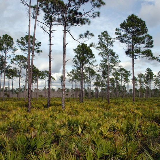 Picture of Big Cypress Trees